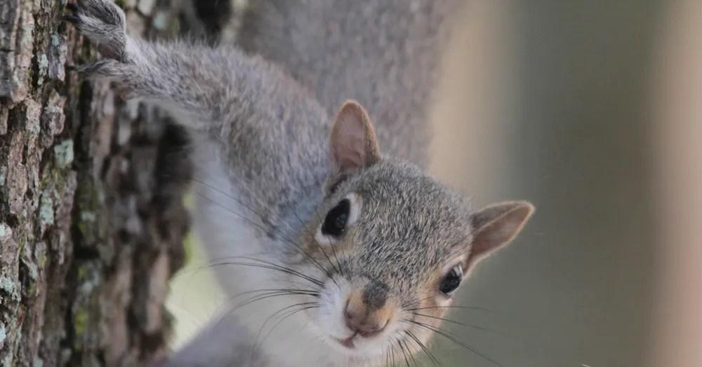 squirrel alarm calls are