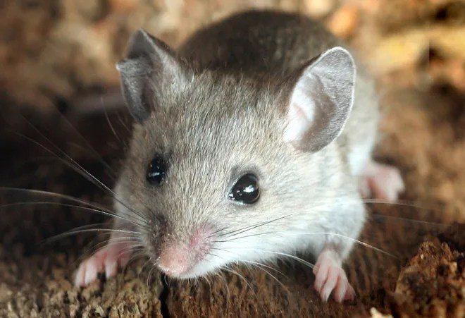 Dying Trees Make Way for Mice With Deadly Disease   WIRED