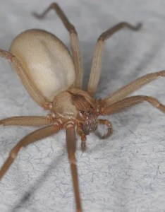 Why you need not fear the poor misunderstood brown recluse spider also rh wired