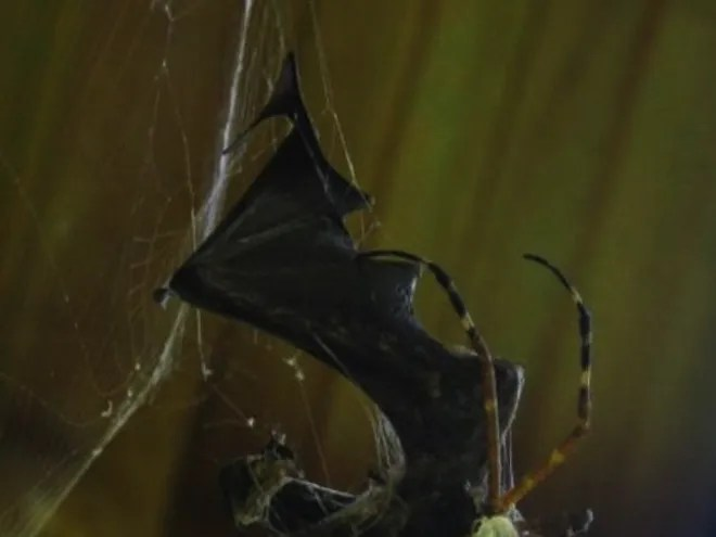 bat eating spiders the