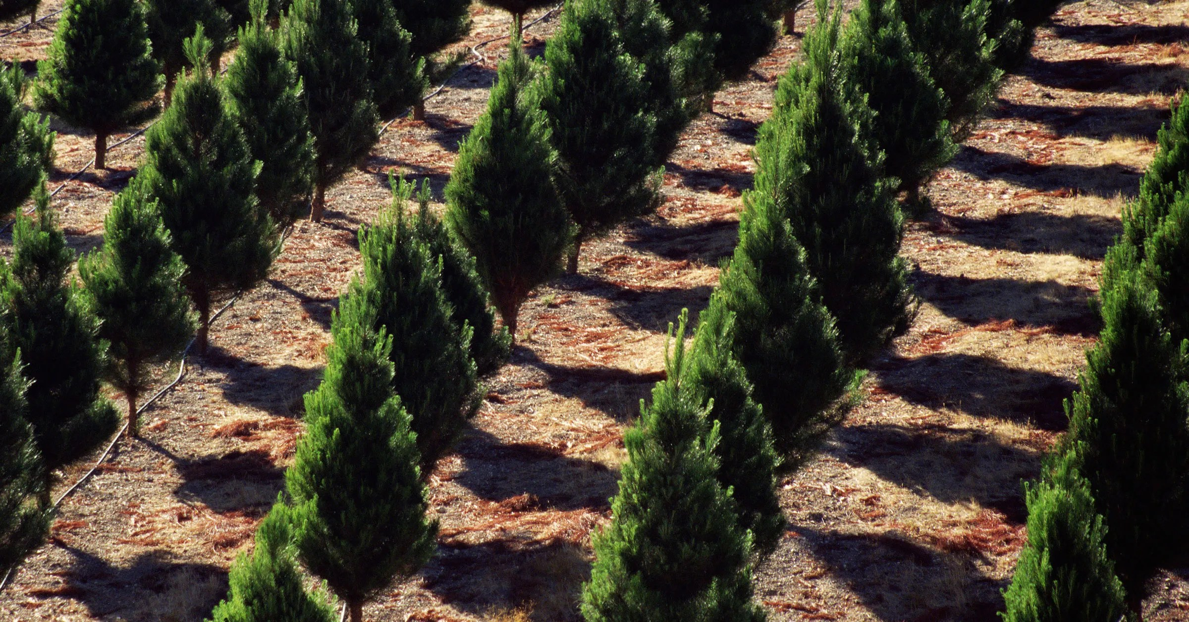 The Science Of Growing A Perfect Christmas Tree