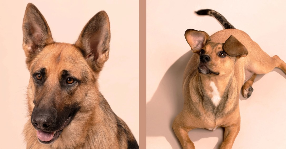 German Shepard on the left that was promised and a chihuahua on the right that the puppy turned out to be.