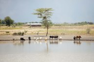 Djur vid vattenhål, Tanzania