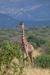 Giraff, Tanzania