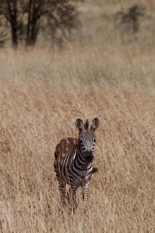 Zebraföl, Tanzania