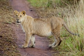 Unglejon,Serengeti, Tanzania