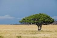 Korvträd, Serengeti, Tanzania