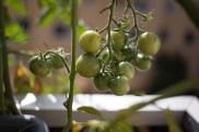 Denna planta har fått över 100 tomater.