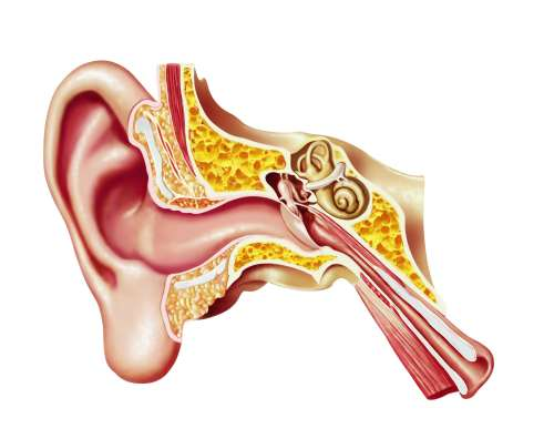 small resolution of human inner ear diagram