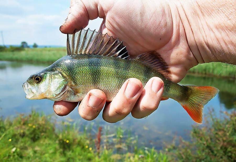 sportfiskelådan abborre