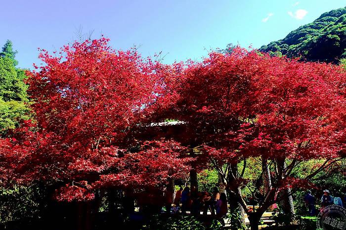 杉林溪「楓」情萬種 楓紅、水杉金黃色彩繽紛 - Yahoo奇摩旅遊
