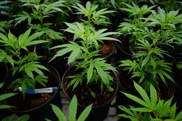 Pot producers urge advertising changes-Image1