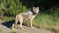 Wanderlustig: ein Wolf in der Lausitz