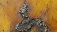Fossil aus Grube Messel: Ältester Python der Welt gefunden