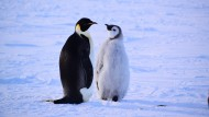 In der Antarktis bildet Krill die Lebensgrundlage, auch für die Kaiserpinguine.