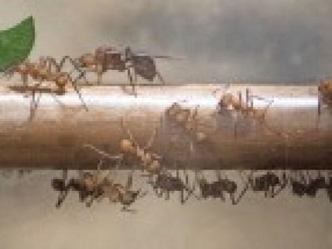 Invasive Ameisen als Haustiere?
