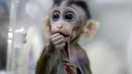 Erstmals wurden in China mehrere Affen mit einem absichtlich hervorgerufenen Gendefekt geklont.