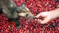 Glückliche Schleichkatze: Leider liegt dem Katzenkaffee heute meist Massentierhaltung zugrunde.