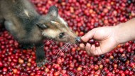 Wo Schleichkatzen Kaffeekirschen veredeln: Edward Posnetts Buch über die Kunst der Ernte