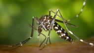 Ein weibliche Asiatische Tigermücke: Die Aedes albopicts ist etwa dafür bekannt, dass Chikungunya- und Dengue-Virus zu übertragen.