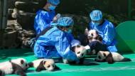 Andere Menschen haben auch schöne Berufe: Fütterzeit in Chengdu.