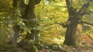Das skurrile Stelldichein von Fabelwesen besteht aus fast zweihundert krüppeligen Hutebuchen: Rotbuchen auf dem Halloh im Kellerwald.