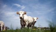 Die Rinder dieser Landschaft sollen bald Weltkulturerbe werden: Charolais-Rind im Brionnais.