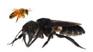 Sechs Zentimeter: die Riesenbiene aus Indonesien.