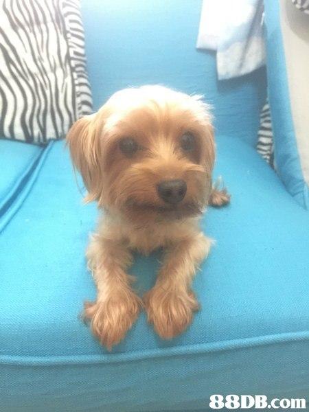 約瑟爹利 - [已領養]2歲10個月 約瑟爹利 愛狗人士免費認養 - 香港寵物資訊 - 88DB服務平臺