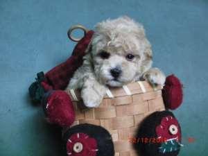 貴婦,史立沙,哥基合法狗場牌,8個月合約寵物狗仔健康保証 - 寵物 和 寵物轉讓