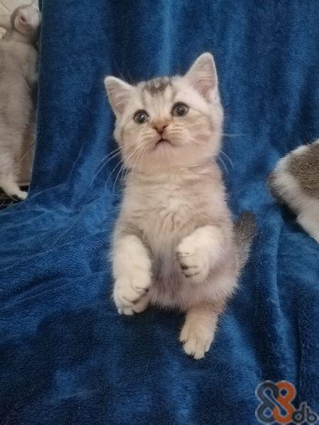 【買貓】2019最新8406個有關買貓之價格及商戶聯絡資訊 - HK 88DB.com