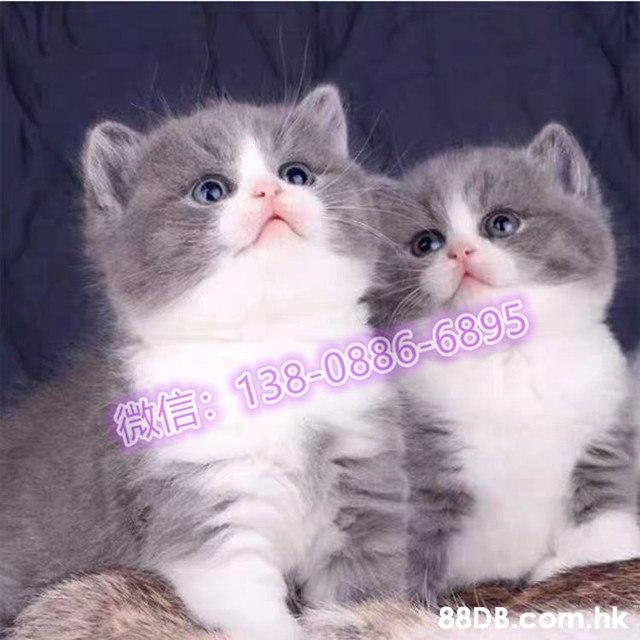 英國短毛貓 - 自家繁殖英國短毛貓英短藍白貓BB/藍白/藍白貓正八開臉包健康純種質保三個月 - 香港寵物資訊 - 88DB服務平臺