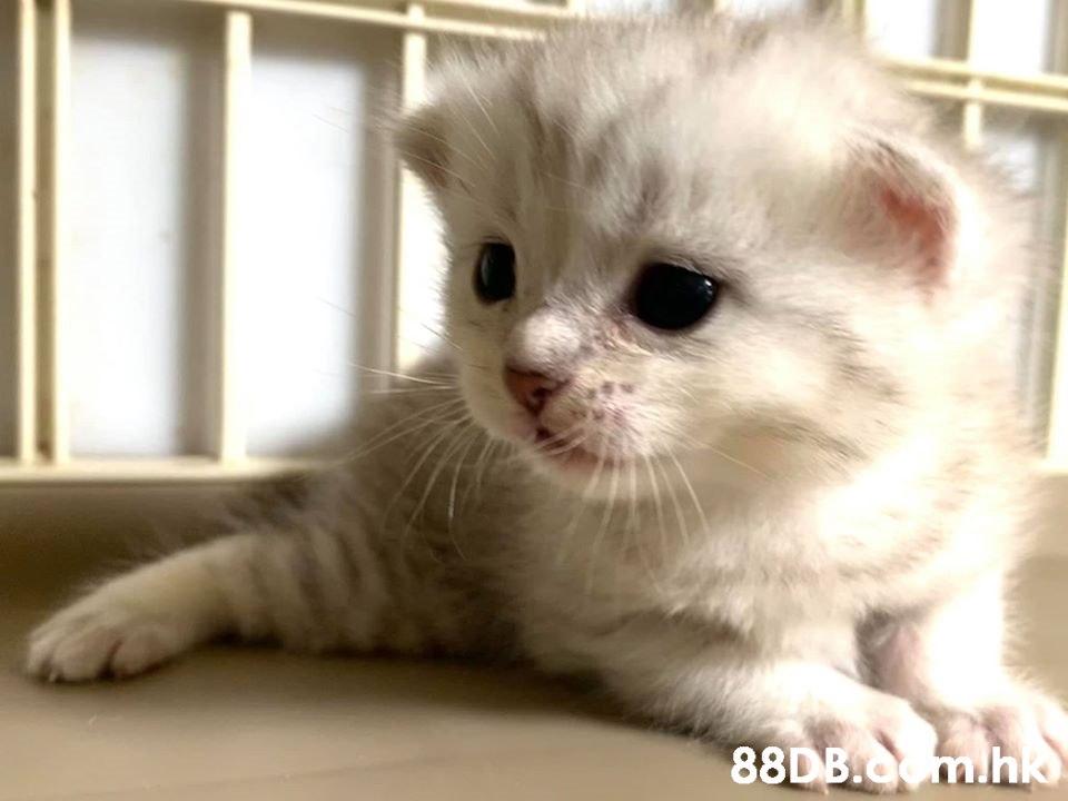 英國短毛貓 - 自家繁殖 CP Cat cathouse - 香港寵物資訊 - 88DB服務平臺