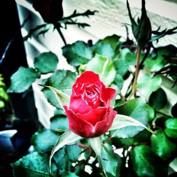 November rose. #nexus5 #adesworld