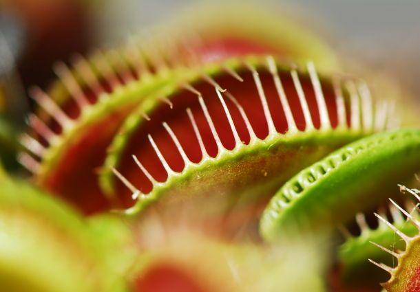 Fleischfressende Pflanzen Exoten fr Ihr Zuhause