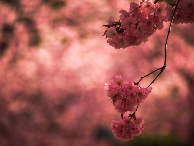 körsbärsblommor.foto: BelleBlue©Photo