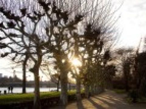 Stumpf und Schande: Gut für die Umwelt, trotzdem müssen alte Bäume oft weichen