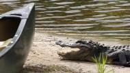 Ein Krokodil in den Okefenokee Swamps zwischen Florida und Georgia (Symbolbild)