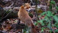 Ein Fuchs streicht durch einen kleinen Wald bei Teltow in Brandenburg, nahe der Grenze zu Berlin.