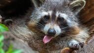 """Serie """"Wildwechsel"""": Der Waschbär – niedlich, aber schädlich"""