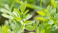 Blick auf den Acker: So wachsen grüne Linsen.
