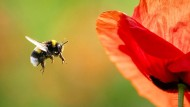 Eine Erdhummel im Anflug auf eine Mohnblüte. Häufig sind Pollen und Nektar von Neonikotinoiden kontaminiert.