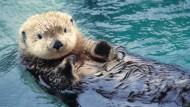 Die stark geschrumpften Seeotter-Bestände gefährden ganze Ökosysteme: Seeigel vermehren sich massenhaft und Riffe sterben.