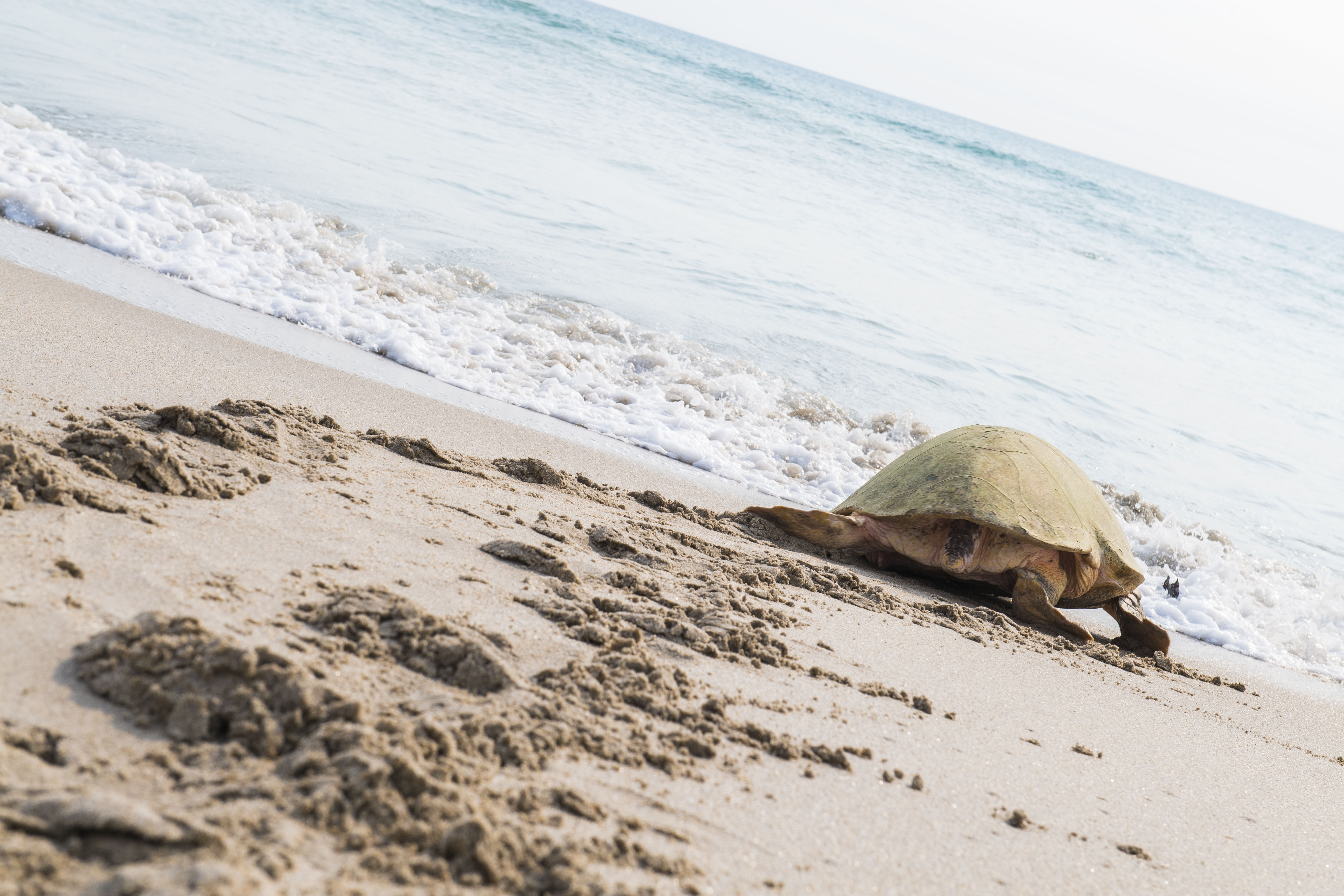 Endangered Sea Turtles Are Having A Record Nesting Year On