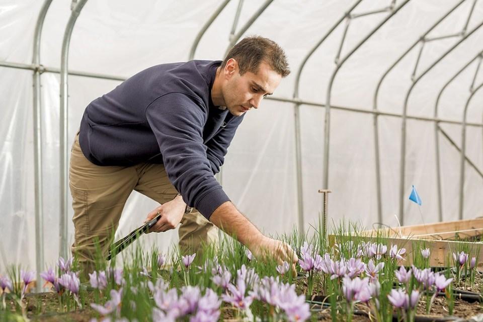 UVM Researchers Tout Growing Saffron in Vermont | Agriculture ...