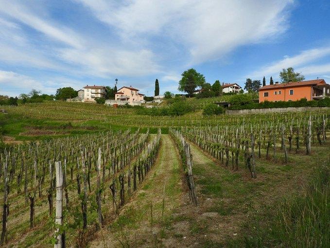 Vinogradi svuda okolo