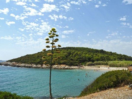 Milna desno od agave