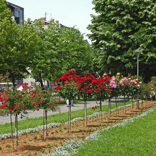 drvored ruža u Kladovu