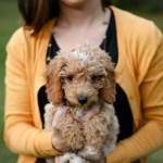 Cute Pictures Of Goldendoodles Popsugar Pets