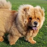 You Can't Tell Me This Chow Chow Isn't Actually a Very Fluffy Teddy Bear